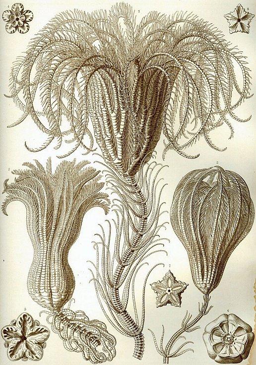 Jedno z prvních vyobrazení lilijic od Ernesta Häckela z roku 1909