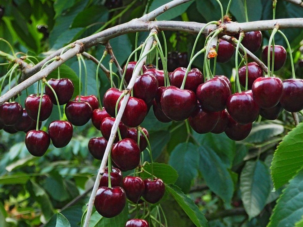 Třešně jsou velmi náročné na výběr lokality. Potřebují otevřené teplé polohy, nejlépe na mírné stráni s jižní orientací, kde proudí vzduch.