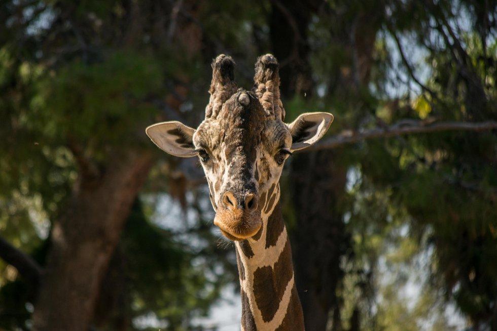 Žirafy těžce nesou ztrátu potomka.