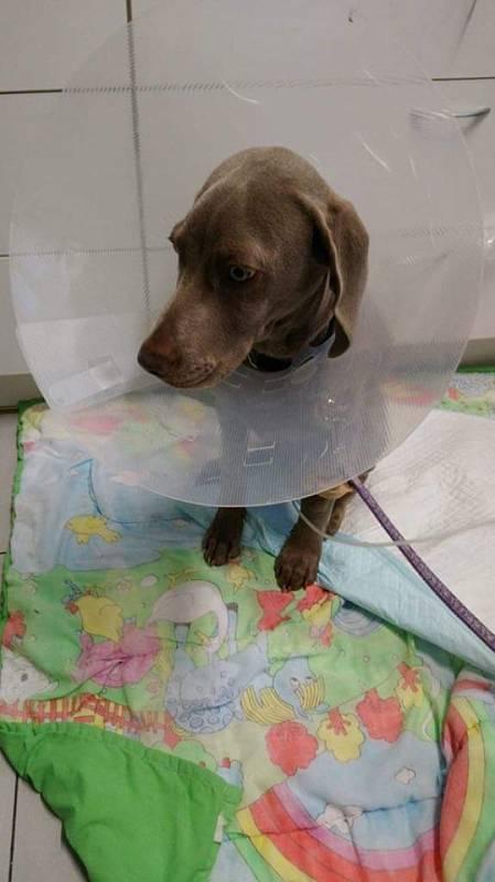 Bessie - na kapačkách na veterině, průjem s krví, před necelým měsícem, je to ještě 4 měsíční miminko. Naštěstí už je fit a teď hlídá paničku po operaci.