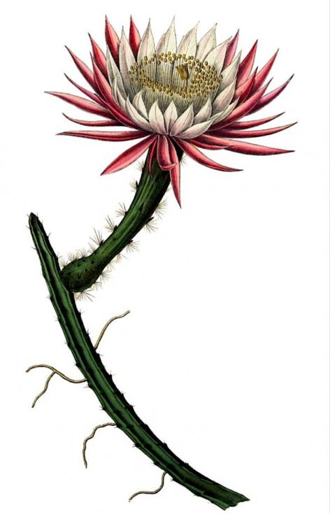 Kaktus měsíčního svitu aneb Selenicereus spinulosus. Druh kaktusu pocházející z východního Mexika a případně dolního údolí Rio Grande v Texasu ve Spojených státech
