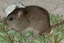 Vyhynulá australská krysa Melomys rubicola.