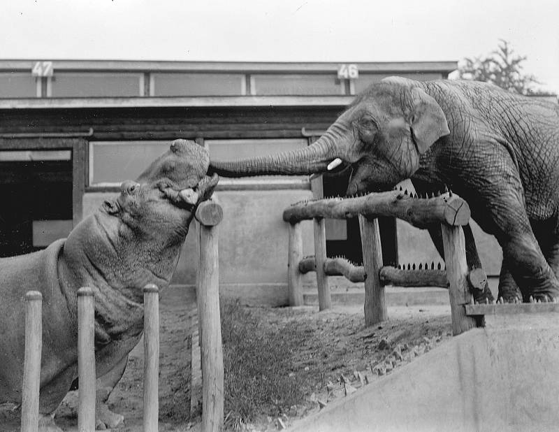 Slon cejlonský Baby a hroch Petr