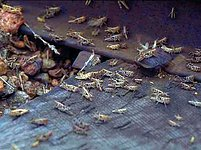 Čína v historii mnohokrát přistoupila na neortodoxní boj s přemnoženými živočišnými druhy. Teď má zatočit s kobylkami.