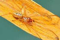 Jméno snovačka moravská (Enoplognatha bryjai) dostal nový druh pavouka popsaný Milanem Řezáčem z Výzkumného ústavu rostlinné výroby v Praze-Ruzyni. Vyskytuje se vzácně na jižní Moravě.
