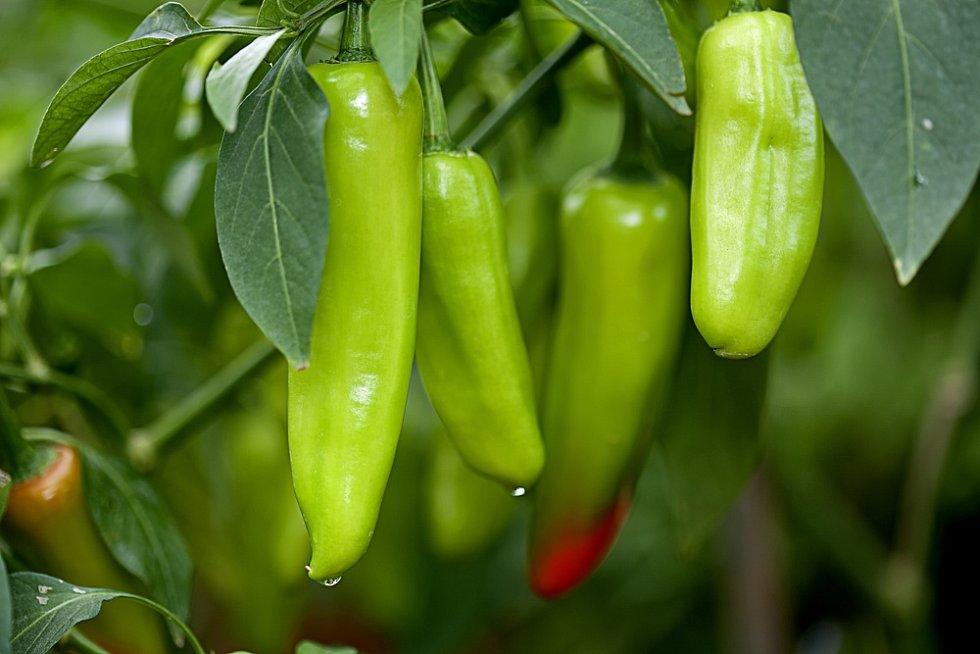 Podle zelinářů je nyní vysoká cena papriky dána tím, že se prodává výhradně skleníková produkce z dovozu.