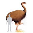 Srovnání velikosti člověka a jednoho z pravěkých pštrosů, který dorůstal do výšky kolem tří metrů