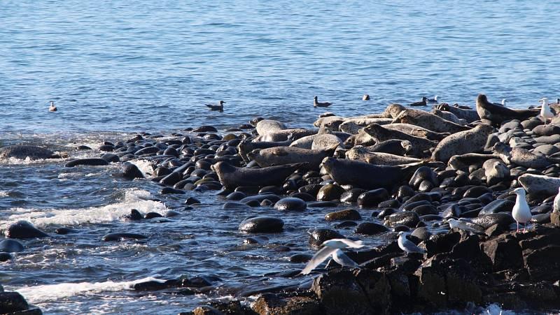 Tichomořské pobřeží Kamčatky bývá plné protahujících se tuleňů, ti však začali hromadně hynout
