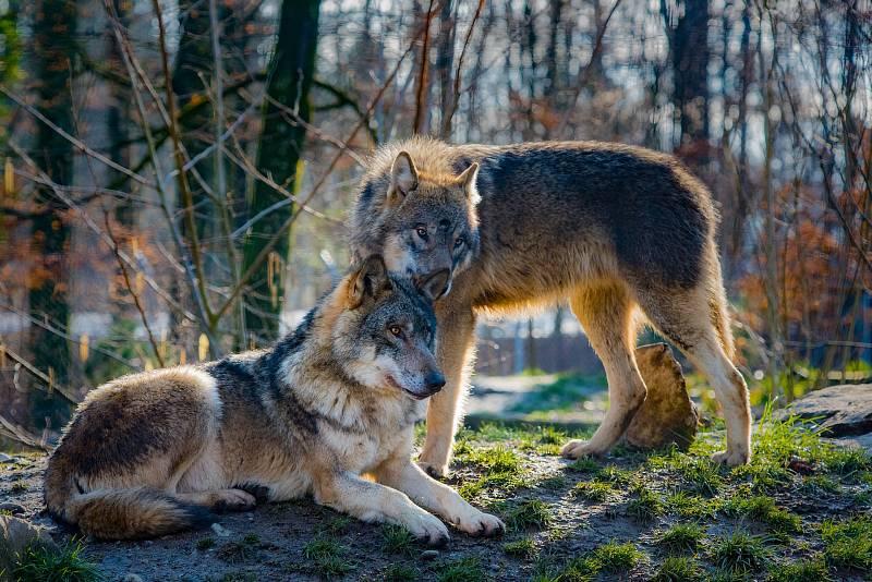 V osmačtyřiceti kontinentálních státech USA – když se vynechá Aljaška - žije podle odhadů US Fish and Wildlife Service celkem asi šest tisíc vlků, nejvíce v oblasti kolem Velkých jezer.
