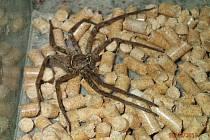 Pavouk z rodu Heteropoda.