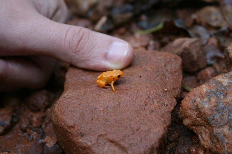 Nejen ropušenka drobná (na fotce), ale i ostatní oranžové žáby z čeledi ropušenkovití patří mezi nejmenší na světě. Nově popsaný druh z této čeledi je dokonce ještě menší, než právě ropušenka drobná.