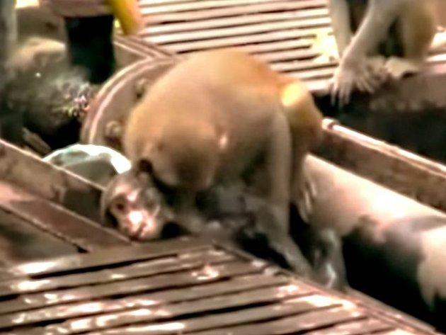Účinnou první pomoc dokázala poskytnout indická opice své družce, která se houpala příliš blízko elektrického vedení na nádraží ve městě Kanpúr v severní části země a kterou zasáhl proud.