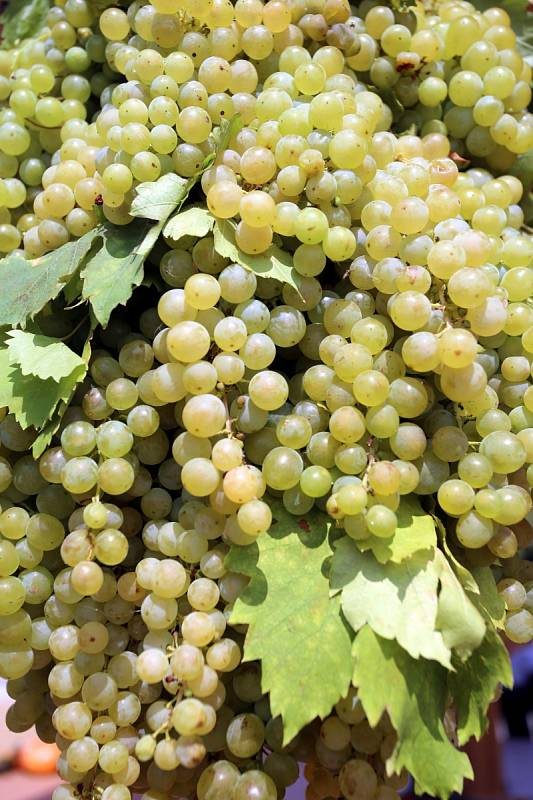 Vinobraní v Polešovicích