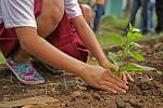 Nově zasazené stromy rozšiřují své kořeny hlavně ve vrchní, zhruba třiceticentimetrové vrstvě, ne do hloubky.