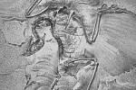 Berlínský archeopteryx v díle Richarda Owena