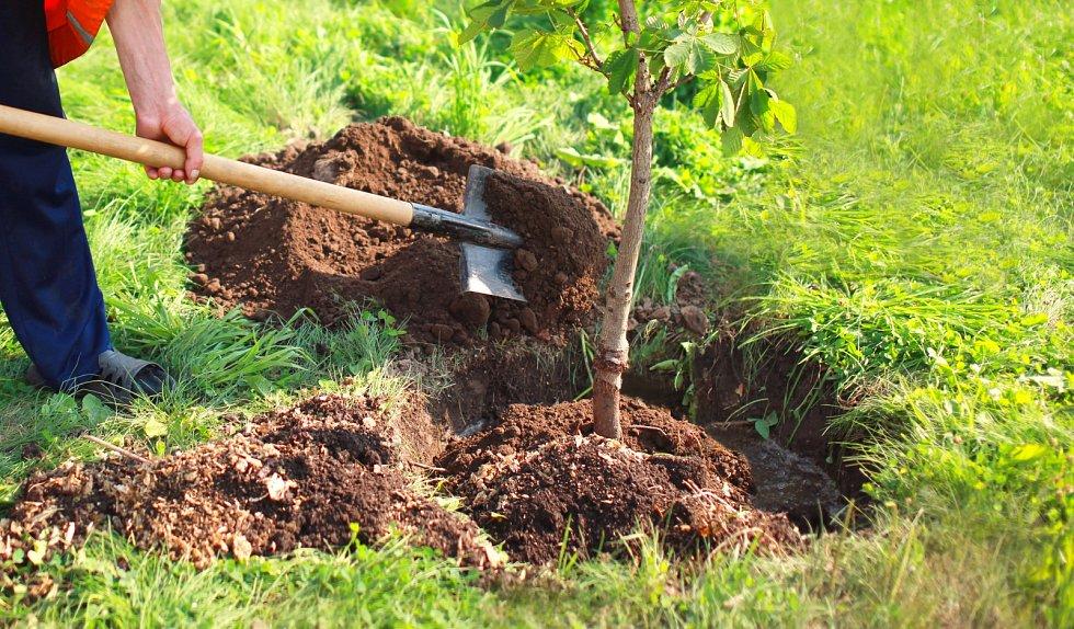 Kořeny opatrně prosypávejte vykopanou zeminou, kterou vylepšíte kompostem, listovkou nebo zahradnickým substrátem.