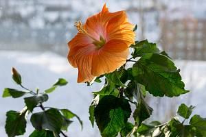 Ibišek je nenáročná rostlina na pěstování a spolehlivě kvete.