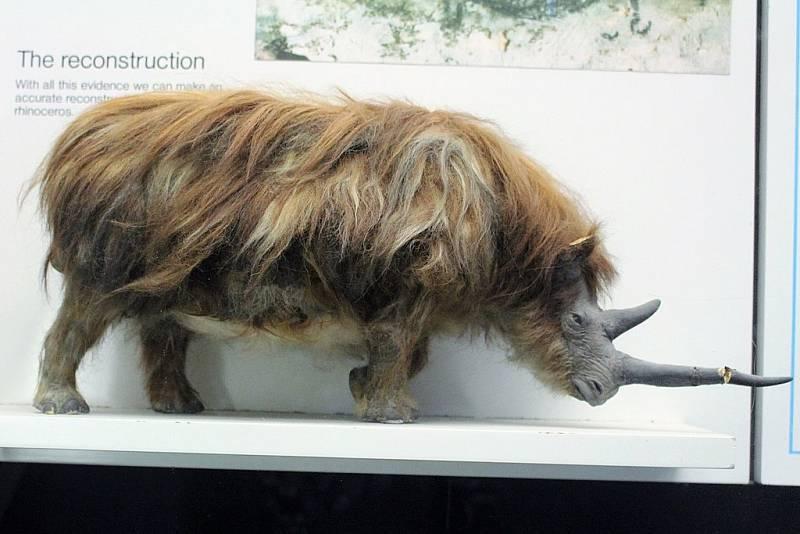 Model nosorožce srstnatého v Muzeu přírodních dějin v Londýně