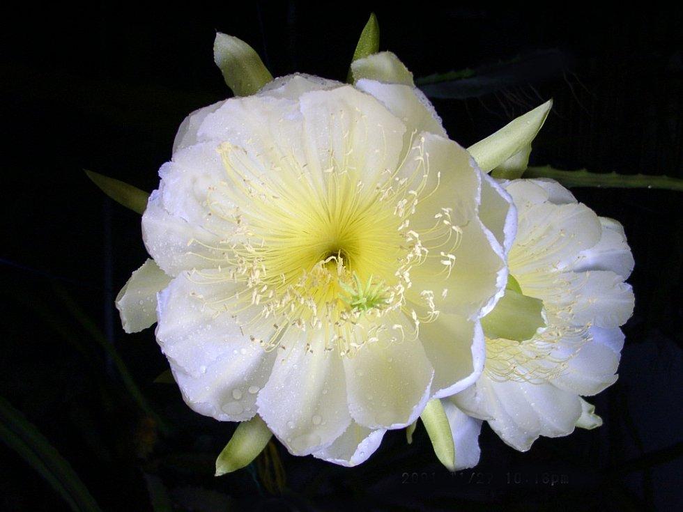 Jihoamerický kaktus Hylocereus megalanthus, oblíbený pro své krásné a veliké květy, řadící se mezi kaktusovými květy k těm největším