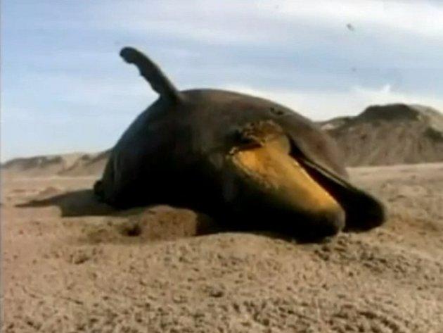 Stále častěji nacházejí zoologové na plážích v Peru stovky vyplavených uhynulých zvířat.
