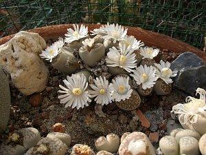 Lithopsy - živé kameny