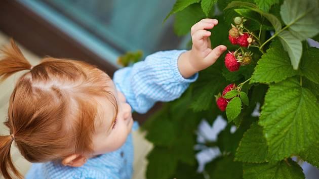 Na trhu najdete speciální balkonové odrůdy maliníků bez trnů.