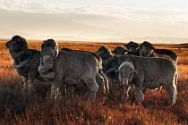Ovce plemene merino, které jsou ceněné pro jejich jemnou vlnu.