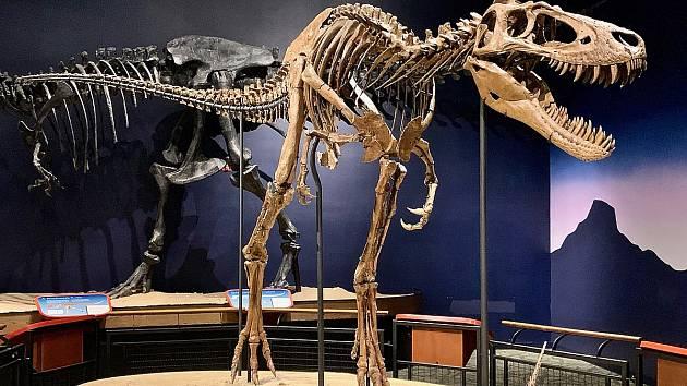"""Zrekonstruovaná zkamenělá kostra """"Jane"""" - tyranosaura, jenž zavdal podnět k dohadům, že existovala i trpasličí varianta tohoto druhu"""