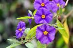 Okrasný lilek. Pěstuje ho lemčík skvrnitý. Připravuje pro něj půdu, pleje plevel a dokonce rostlinu i šlechtí.