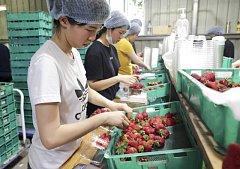 Třídící a balící linka na jahodové farmě Chambers Flat Strawberry Farm, kde pracovala žena obviněná z kontaminování jahod jehlami.