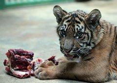 Pětiměsíční mládě tygra sumaterského.