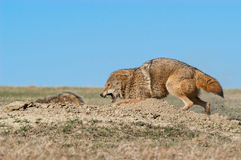Mezidruhová spolupráce. Kojot loví společně s jezevcem.