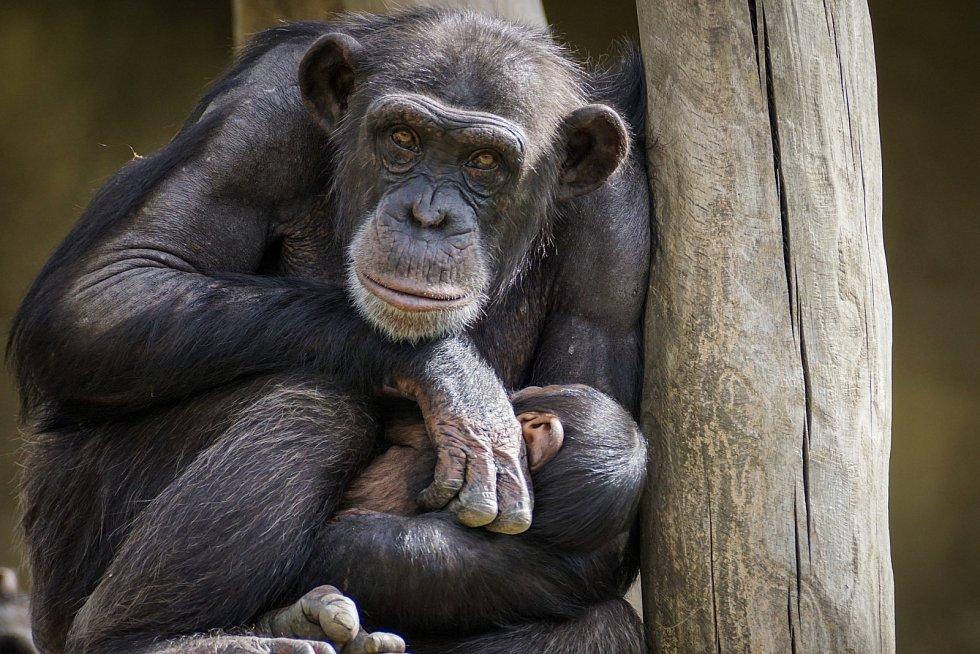 Čím je tento objev zajímavý? Není totiž možné tyto způsoby pozdravu vysvětlit genetickými nebo environmentálními faktory. Životní podmínky obou tlup šimpanzů byly v podstatě stejné.