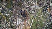 Medvěd černý vylézá z brlohu