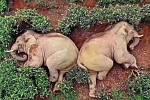 Mezi populární memy poslední doby se zařadili i sloni, kteří se údajně opili v čínském rýžovém poli