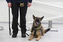 Výcvik psů, kteří poznají covid-19