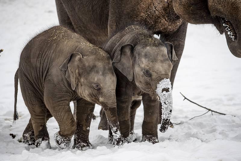 Slůňata si užívala sněhu a občas se zkoušela otužovat i v ledem pokryté louži.