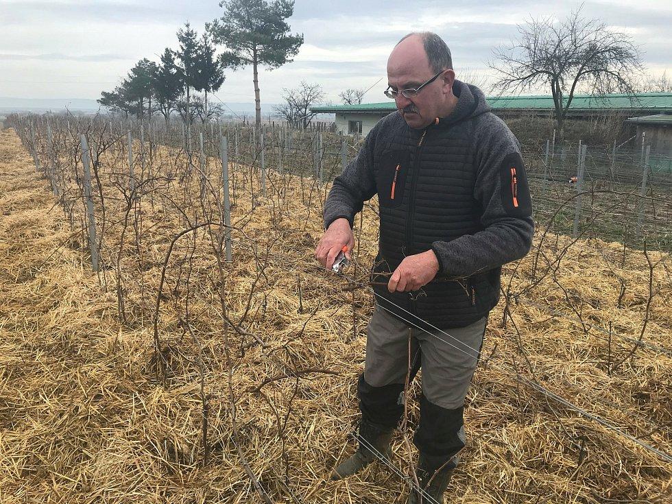 Vinař Oldřich Palička připravuje révu, aby se mohl těšit dobrou úrodou.