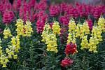 Hledík patří k nejoblíbenějším rostlinám, protože kvete celé léto až do prvních mrazů.