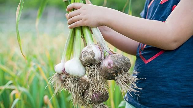 Když při sázení česneku dodržíte určité zásady, budete úspěšní.