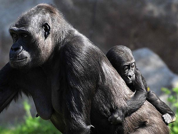 Gorilí sameček Kiburi (na snímku se svou matkou Kijivu) oslavil 24. dubna v pražské zoo své první narozeniny. Současně byla zahájena kampaň Pomáháme jim přežít, jejíž výtěžek je určen mimo jiné na záchranu lidoopů.