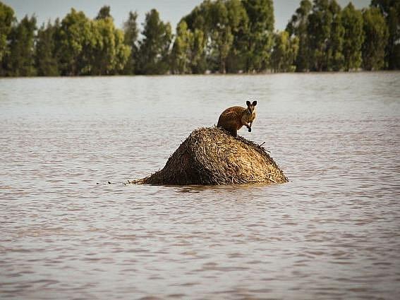Klokan uvězněný vodou na malém ostrůvku nedaleko Dalby v Queenslandu.