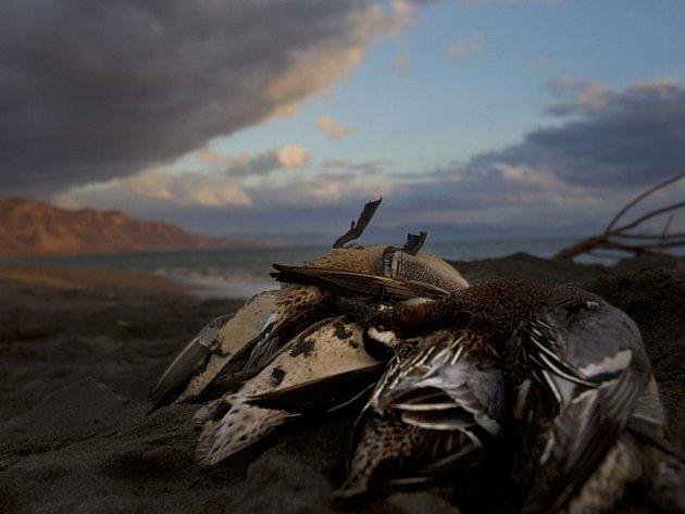 Tisíce uhynulých mořských ptáků objevili v průběhu ledna biologové na západním pobřeží Aljašky, což je v této oblasti dosud nebývalý nález. Ilustrační foto.