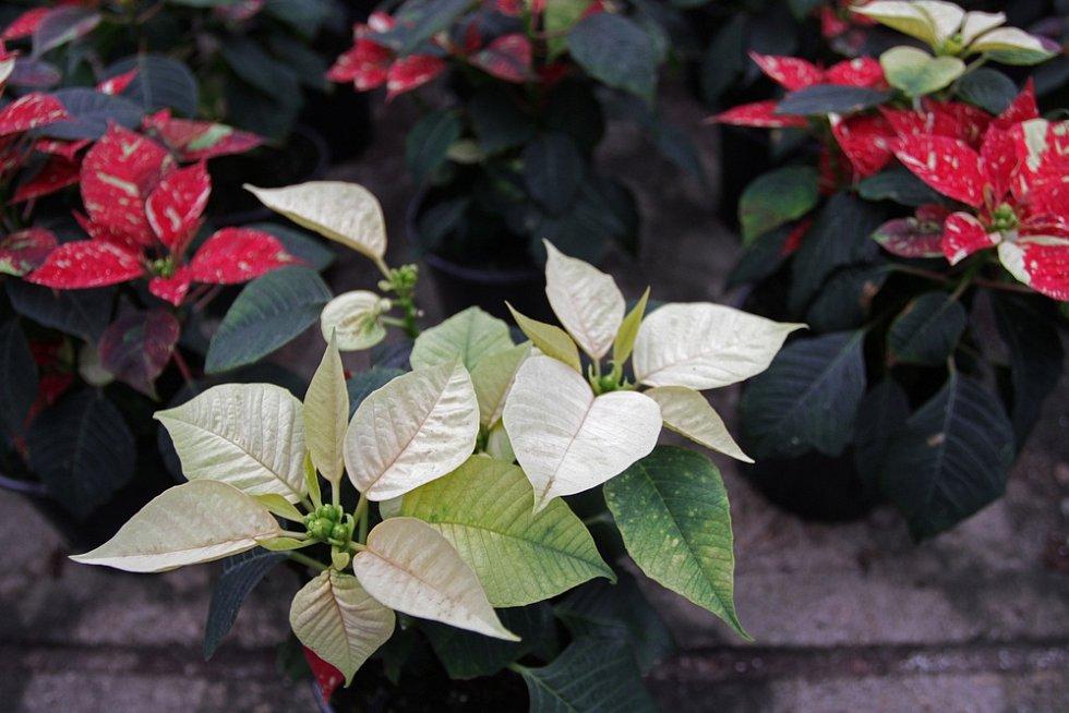 Vánoční hvězda může mít i bílé listeny.