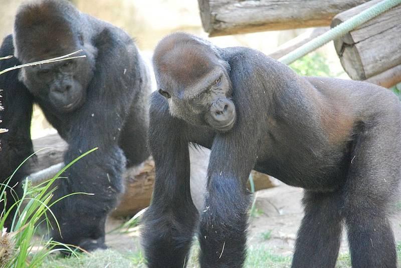 Nákaza mohla zasáhnout více zvířat jedné tlupy, ilustrační foto