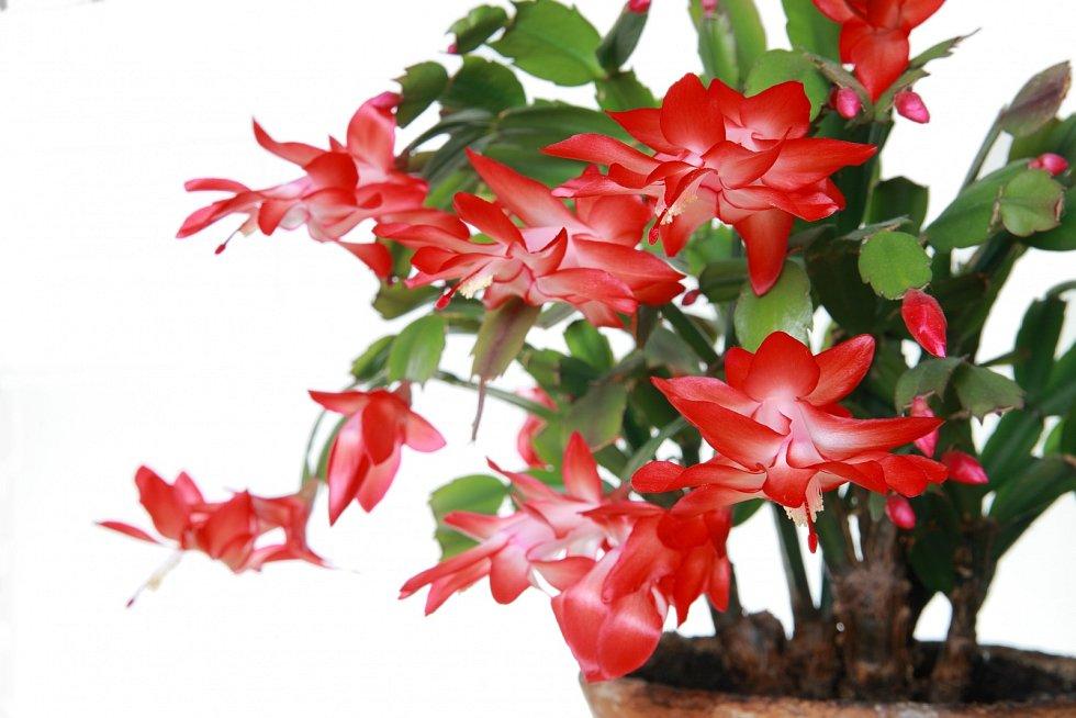 Vánoční kaktus. Tahle exotická rostlina má pověst trošku rozmarné krásky, bývala oblíbenou součástí květinové výzdoby domovů vašich rodičů či prarodičů.