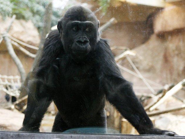 Gorilka Moja oslavila 15. prosince v pražské zoo své třetí narozeniny.