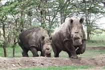 Samice nosorožce Cottonova  ze Zoo ve Dvoře Králové ve výběhu v Keni, kam se před časem vrátily.