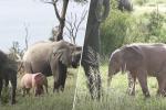 V Krugerově národním parku se objevilo růžové slůně