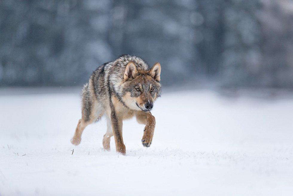 Vlk obecný patří k velkým tulákům
